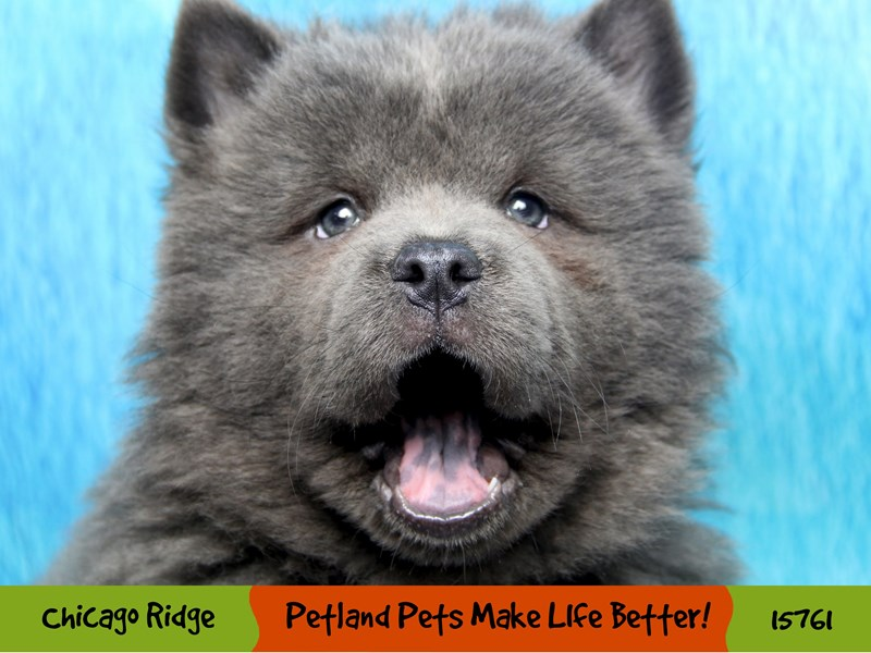 Chow Chow-Female-Blue-2943124-Petland Pets & Puppies Chicago Illinois