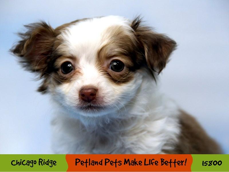 Chihuahua-Female-Chocolate-2958823-Petland Pets & Puppies Chicago Illinois