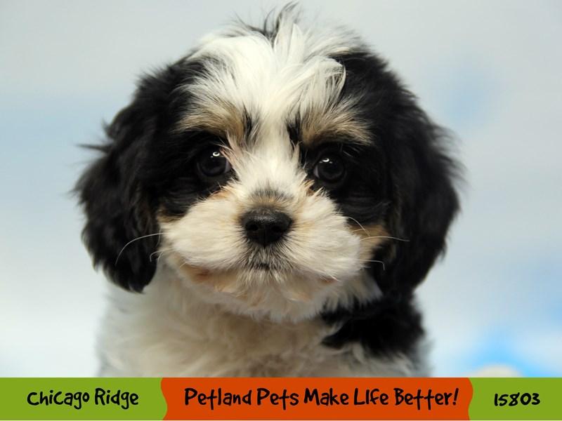Cavachon-Male-Black White / Tan-2958817-Petland Pets & Puppies Chicago Illinois
