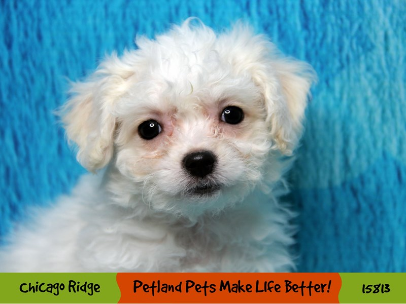 Bichon Frise-Female-White-2967198-Petland Pets & Puppies Chicago Illinois