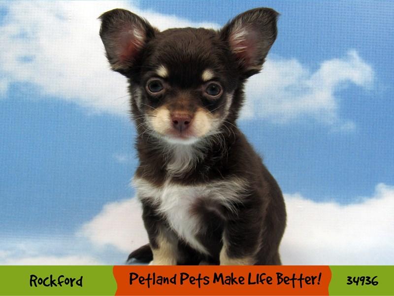 Chihuahua-Female-Chocolate-2959505-Petland Pets & Puppies Chicago Illinois