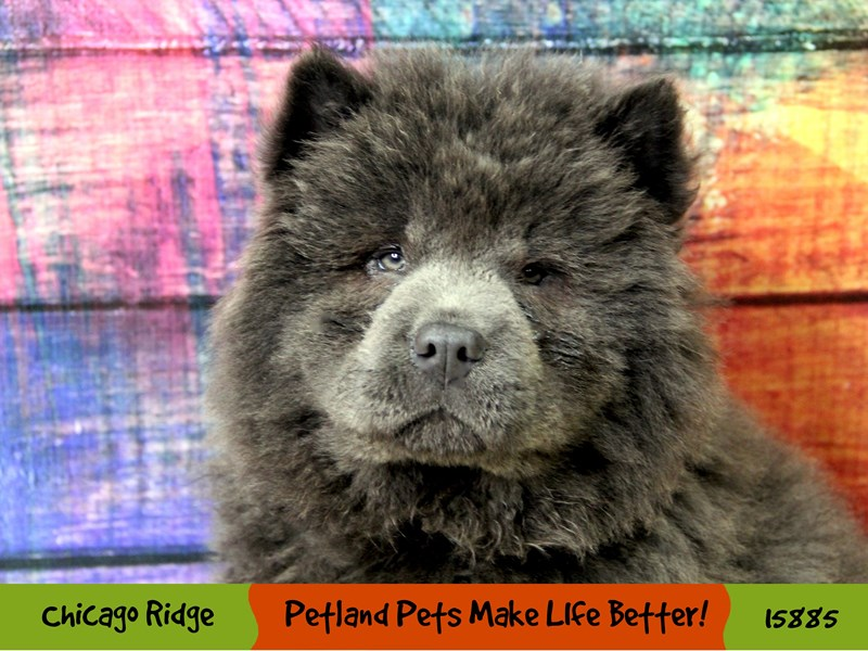 Chow Chow-Male-Blue-2998705-Petland Pets & Puppies Chicago Illinois