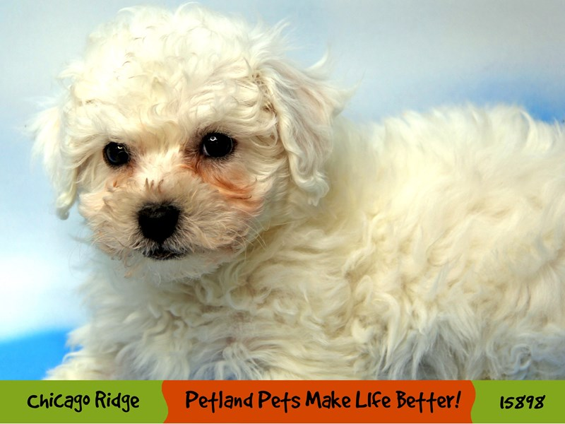 Bichon Frise-Female-White-3000697-Petland Pets & Puppies Chicago Illinois