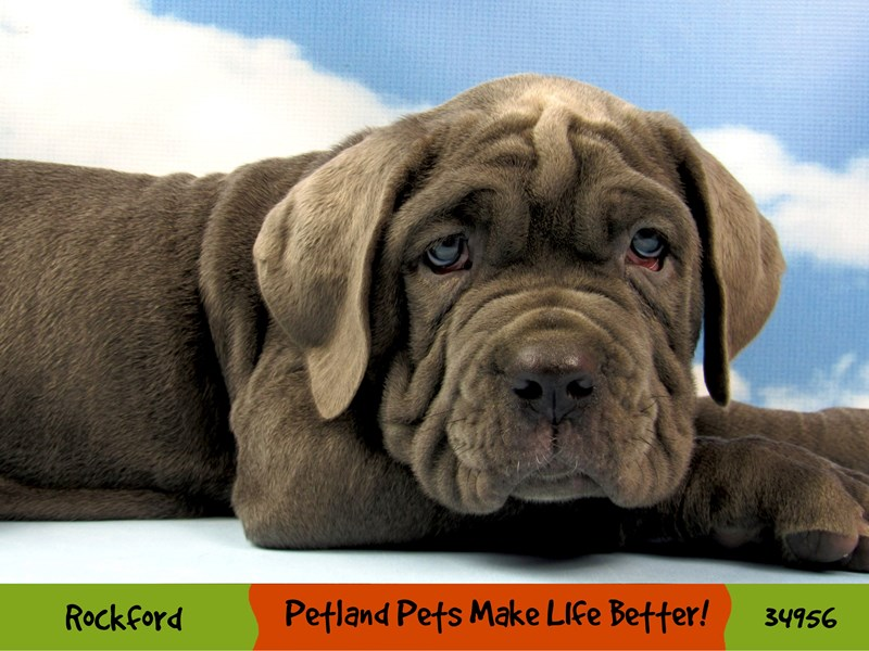 Neapolitan Mastiff-Male-Blue-2981706-Petland Pets & Puppies Chicago Illinois