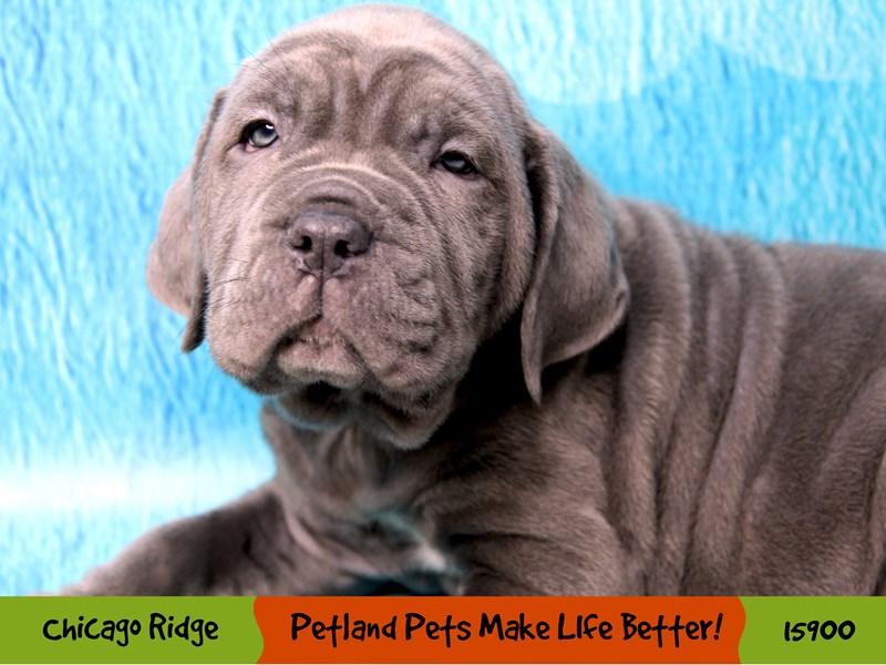 Neapolitan Mastiff-Male-Blue-3000690-Petland Pets & Puppies Chicago Illinois