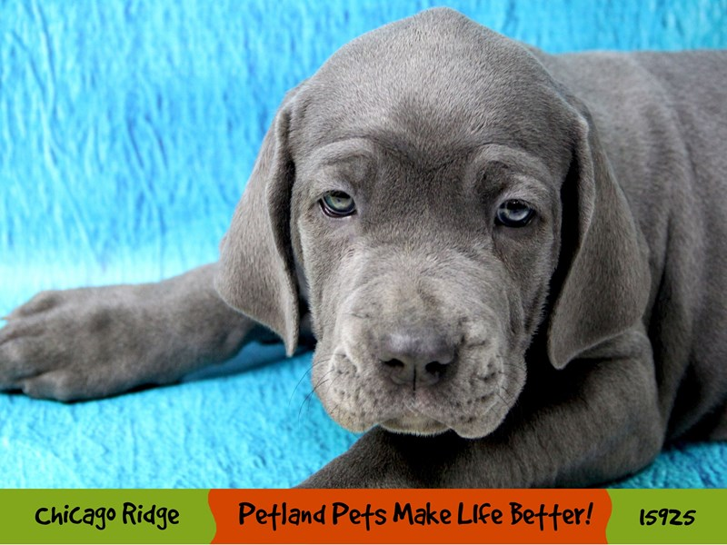 Neapolitan Mastiff-Female-Blue-3017350-Petland Pets & Puppies Chicago Illinois