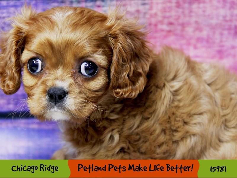 Cavalier King Charles Spaniel-Female-Ruby-3049621-Petland Pets & Puppies Chicago Illinois